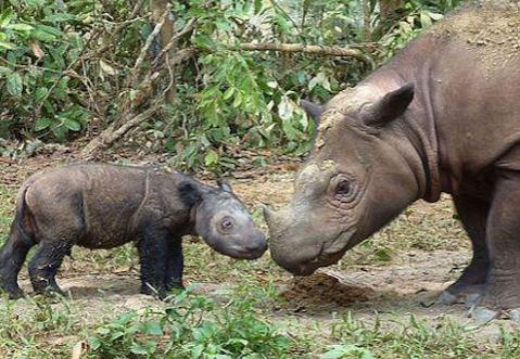Asian Rhino