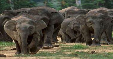 Pygmy elephonat